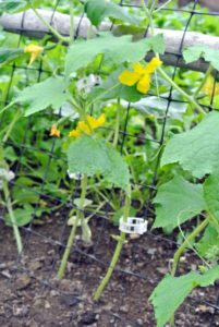 As the cucumbers grow, they are clipped to these vertical netting strips. As the plants and vegetables mature, the vines will grow up the trellises and the cucumbers will grow down from the net. These clips are from Johnny's Selected Seeds. http://www.johnnyseeds.com/tools-supplies/crop-supports/clips/tomato-trellis-clips---100-count-9624.html
