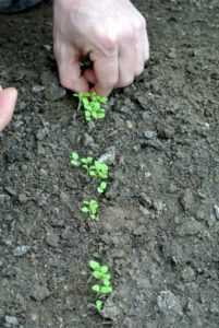 When thinning, Ryan carefully inspects the seedlings and determines the strongest ones - he looks for fleshy leaves, upright stems, and good positioning in the space.
