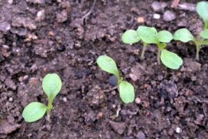 These lettuce seedlings now have more room to develop. Most lettuce varieties mature in 45 to 55 days. Looseleaf and butterhead leaves can be harvested at just about any time in their development. Heading varieties take longer to mature - romaine takes 75 to 85 days and crisphead 70 to 100 days.