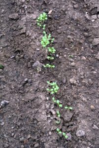 Selective thinning prevents overcrowding, so seedlings don't have any competition for soil nutrients or room to mature.