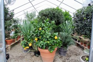 Citrus limon 'Ponderosa' or 'The American Wonder Lemon' - this plant produces a thick mass of highly fragrant flowers, which become tiny lemons. Those lemons get bigger and bigger, often up to five pounds! This 'Ponderosa' citrus tree is pretty large, so it is still stored in the smaller hoop house next door. I always keep it in the front just behind the doors.