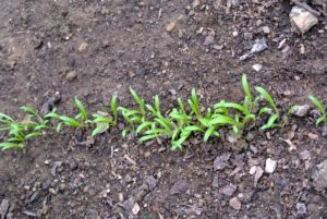 Here is an overcrowded line of spinach seedlings. Overcrowding can stress the sprouts, so Ryan assesses these as well.
