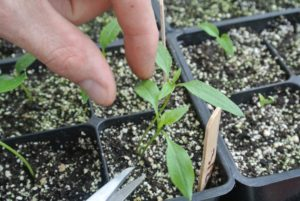 When thinning, carefully inspect the seedlings and determine the strongest ones. Look for fleshy leaves, upright stems, and center positioning in the space. The smaller, weaker, more spindly looking seedlings are removed, leaving only the stronger ones to mature.