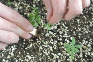 When it is time to move the seedling, carefully loosen the soil around the seedling with the widger. The widger also helps to avoid damage to the plant's leaves, or roots.