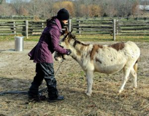 My donkeys, Billie, Rufus and Clyde, were bridled up and brought into the stable a little earlier than usual.