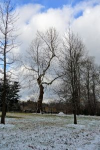 A stately old sycamore tree – the symbol of my farm, Cantitoe Corners. The sycamore is one of the largest hardwood trees, usually growing 60 to 100 feet tall. They are also one of the oldest trees on the planet.