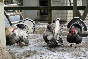 This tom, or gobbler, is prancing around for the hen on the left.