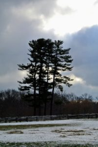 The majestic eastern white pines, Pinus strobus, always stand out in bold dark green over the landscape.