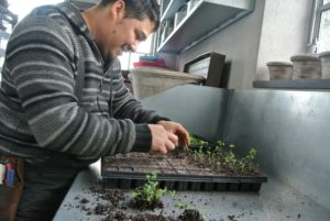 Here is Wilmer transplanting a tray of seedlings. The purpose of transplanting is to provide enough room - overcrowding can stress the sprouts.
