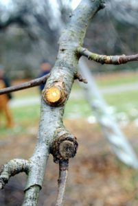 "The final cut on each unwanted bough needs to be alongside the ""branch collar"", a raised ring of bark where the branch intersects with another branch. Growth cells concentrate in these nodes, causing fast bark regrowth which seals the cuts."