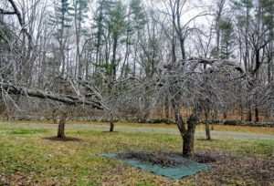 I have many, many apple trees at the farm, and a good number of them are at least 50-years old, so they were already here when I purchased the property.