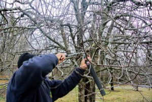 Here, Chhewang uses a pruning hand saw for lower branches that are tougher to cut with regular hand pruners.