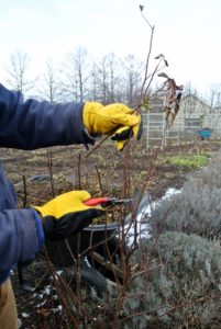 On the rose bushes that grow along the fence, Ryan begins by cutting any superfluous branches or shoots for better-shape. These roses look fuller every year – in part because of regular pruning.