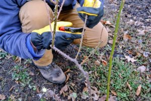 Pruning our roses also keeps the bushes in proportion to the rest of the garden. It is a time consuming task, but a very crucial one for the wellness of these specimens.