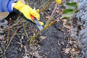 """Ryan assesses each bush from the bottom, and starts cutting out any of the """"three Ds"""" – dead, damaged or diseased branches."""