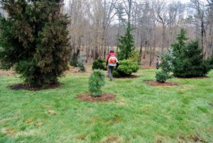 I started planting the pinetum a little more than 10-years ago. All the evergreens have done so well here.