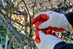 When working with roses, be sure to use a good pair of gloves - the thorns can be very sharp. Here, Wilmer actually has another pair of gloves underneath.