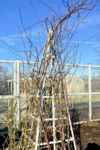 To clamber upwards and reach sunlight, roses that climb take advantage of their thorns' natural propensity to hook onto anything around them. It is important to train major canes in the direction you want on the armature.