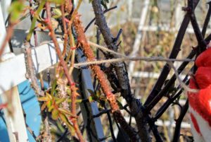 To ensure canes don't get tied too close together, twist the twine a couple of times before knotting around a vine.