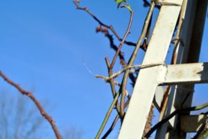 The loop around the plant cane should be just tight enough to keep the vine secure, but not break it.