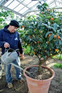 "Here's Wilmer feeding the citrus with a batch of ""liquid gold""."