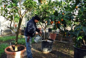 Every citrus plant gets a good drink of tea. My collection has grown quite a bit over the years. In addition to proper feeding, dwarf citrus trees require at least eight to 12 hours of full sunshine and good air circulation to thrive.