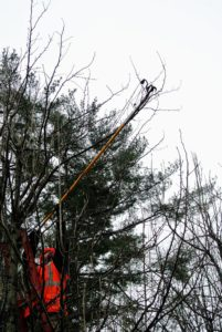 Here, a pole pruner is used to reach the new growth at the top of the tree.