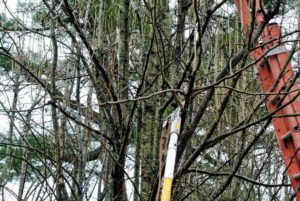 I prefer loppers and pole saws - manual tools that will give my trees a more natural appearance and shape.