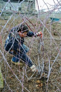 Here is Wilmer pruning the black raspberries - identifiable by their purple canes. Raspberries are unique because their roots and crowns are perennial, while their stems or canes are biennial. A raspberry bush can produce fruit for many years, but pruning is essential.