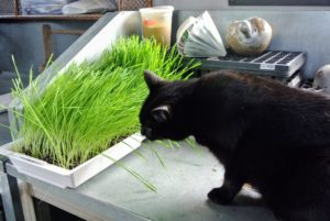We had one tray of wheatgrass ready for Blackie to try - he loves it.