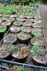 These lupines were planted just a couple weeks ago - they are so green and healthy.