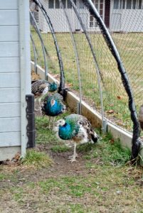 Here are my young peafowl walking toward the coop on their own.