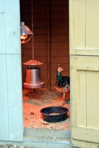 They generally walk into their coop by themselves once they see the warming light turned on. It did not take long at all to get them inside.
