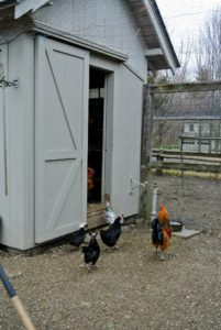 At the chicken yard, here are some hens and roosters walking toward their house - I have four coops in the chicken yard.