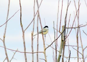 Here's another chickadee sitting in one of the trees nearby.