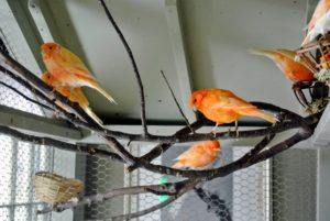 I always provide natural cut branches in the canary cage for the birds to sit on - they love perching on them.