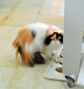 Nearby, at the kitty buffet, is my beautiful cat, Princess Peony, one of two dominant calico Persians.
