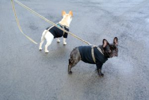 Which way shall we go, girls? On a chilly day, I make sure the puppies wear something to keep their young bodies warm - Frenchies have a single short coat, so they get cold more often than double coated breeds.