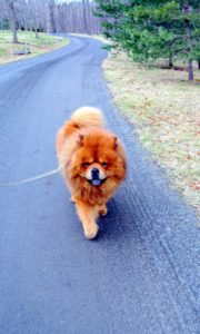 Here is a happy GK on his daily stroll. GK is a champion show dog and has a perfect gait.