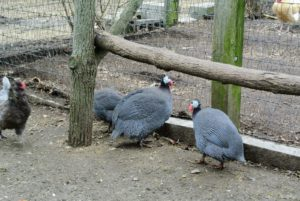"These are three of my 12 Guinea fowl. Sometimes called ""original fowl"" or Guinea hens, these birds play a pivotal role in the control of ticks, flies, locusts, scorpions and other invertebrates. They eat both insects and seeds, and are quite loud, but very interesting to look at with their featherless heads and polka-dotted feathers."
