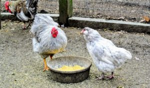 Twice a day, early morning and late afternoon, the birds are given cracked corn. They also eat plenty of vegetable and fruit matter. Here is a Lavender Wyandotte rooster and a Splash Ameraucana hen.