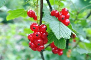 At harvest time, currants are also so beautiful. I grow red, black and white currants. Red currants can range from deep red to pink to almost yellow in color.