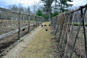 During this time of year I open the adjacent vegetable gardens to the chickens, so they can fertilize the soil.  Chickens provide a tremendous nitrogen source to the area, and are champions of turning the soil, and eliminating the weeds.