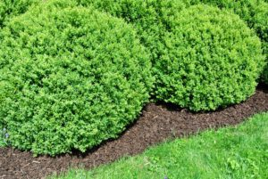 During spring, the boxwood beds are also top dressed with mulch - it always looks so pretty.