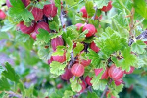 Look how many gooseberries grow on each bush. The color of gooseberries depends on the variety. It can range from yellow, green, and white to red, purple or nearly black. What is most noticeable in all are the veins in the skin of the fruit.