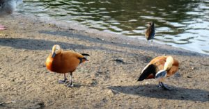 This is a pair of Ruddy Shelducks. The male has an orange-brown body, black rump and tail, a creamy buff head and neck, blackish collar around the base of the neck, and the wings are white with black flight feathers. Females are similar but have a whiter face and lack the black collar around the neck.