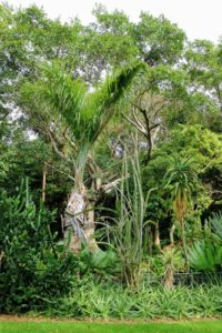 Gaussia princeps, commonly known as palma de sierra, is a palm endemic to Cuba. These trees are tall with whitish stems which are swollen at the base and tapering above - another rare and beautiful palm. This one is more than 50-year old.