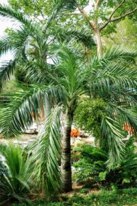 Pseudophoenix sargentii is a native of the Florida Keys and the Caribbean. Also known as  buccaneer palm, this tree is notable for extremes - its drought-tolerance, salt-tolerance and very, very slow growth rate.