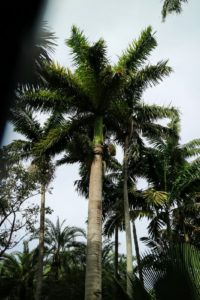 The neat, skinny palms in the background are a type of Veitchia. They resemble a dwarf version of the royal palm, Roystonea regia. It has a single slender gray stem that is smooth, sectioned by leaf scar rings and is swollen at the base.