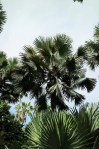 This is a majestic Bismarkia palm. I have these in my tropical collection also, and love to display them in my courtyard during the summer months. Bismarckia nobilis grows from solitary trunks, gray to tan in color, which show ringed indentations from old leaf bases. The nearly rounded leaves are enormous when mature, and are divided to a third its length into stiff segments.